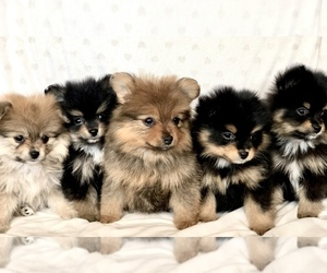 Pomeranian Puppy for sale in W JORDAN, UT, USA