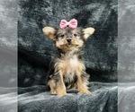 Puppy 14 Yorkshire Terrier