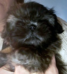 Shih Tzu Puppy For Sale in ANTRIM, NH, USA