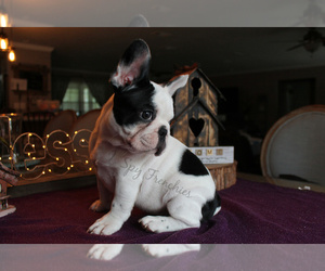French Bulldog Puppy for Sale in NEW SMYRNA, Florida USA