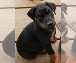 Small #22 Doberman Pinscher