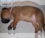 Puppy 8 Dogue de Bordeaux-Masti-Bull Mix