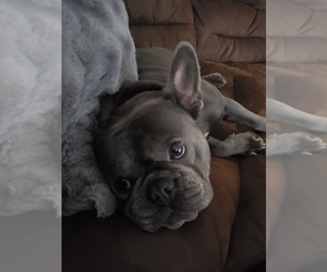 Mother of the French Bulldog puppies born on 03/25/2021