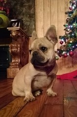 French Bulldog Puppy For Sale in FORSYTH, GA, USA