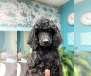 Poodle (Standard) Puppy for Sale in TITUSVILLE, Florida USA