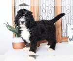 Dax Handsome TriColored Male CKC Bernedoodle