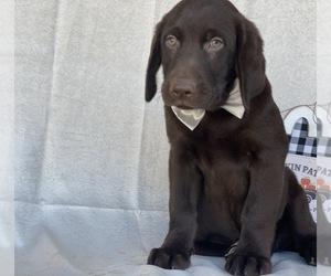 Labrador Retriever Puppy for sale in LANCASTER, PA, USA