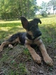 German Shepherd Dog Puppy For Sale in LOUISBURG, NC,