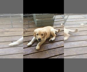 Goldendoodle Puppy for sale in CENTRALIA, WA, USA