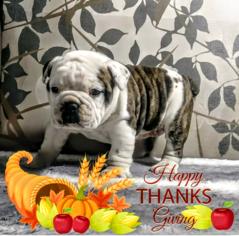 English Bulldogge Puppy For Sale in GARRETTSVILLE, OH, USA