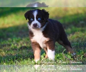 View Ad: Australian Shepherd Puppy for Sale near Missouri