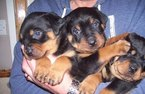 Rottweiler Puppy For Sale in SEATTLE, WA