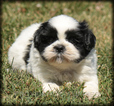 Shih Tzu Puppy For Sale in WAYLAND, IA, USA