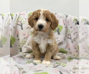 Poodle (Miniature)-Titan Terrier Mix Puppy for Sale in RICHMOND, Illinois USA