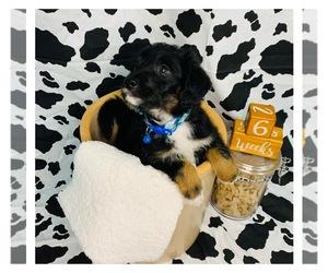 Border Collie-Poodle (Miniature) Mix Puppy for Sale in WHEATON, Missouri USA