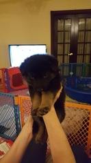 German Shepherd Dog Puppy For Sale in STAFFORD, VA