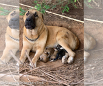 Small #1 Central Asian Shepherd Dog