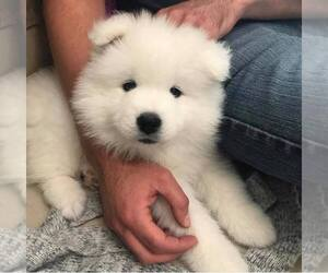 Samoyed Puppy for sale in JAMESTOWN, NY, USA