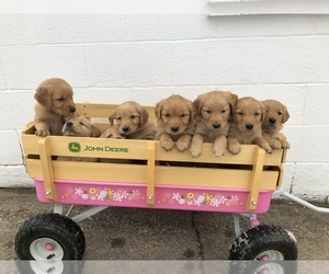 Golden Retriever Puppy for sale in KIMBALL, MN, USA