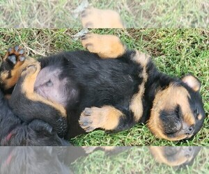Rottweiler Puppy for Sale in WESLEY, Arkansas USA