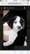 Dalmatian Puppy For Sale in PORT SAINT LUCIE, FL, USA