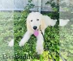 Small #1 Poodle (Standard)-Saint Berdoodle Mix