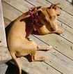 American Staffordshire Terrier Dog For Adoption in ATLANTA, GA, USA