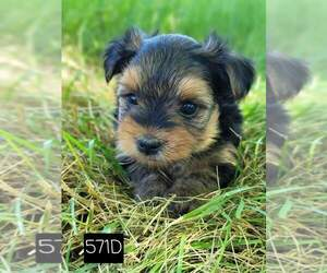 Yorkshire Terrier Puppy for Sale in MOUNTAIN GROVE, Missouri USA
