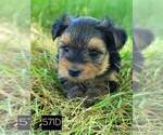 Image preview for Ad Listing. Nickname: Yorkie