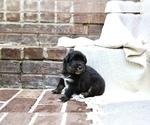 Puppy 2 Australian Shepherd