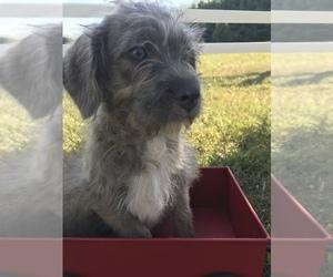 Neapolitan Mastiff-Poodle (Miniature) Mix Puppy for sale in GOSHEN, IN, USA