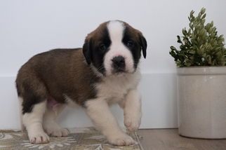 Saint Bernard Puppy For Sale in KENT, OH, USA