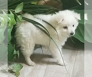 Miniature American Eskimo Puppy for Sale in SALEM, Oregon USA