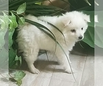 Miniature American Eskimo Puppy For Sale in SALEM, OR, USA