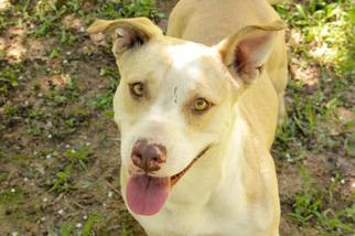 Mollie Jo - Labrador Retriever Dog For Adoption