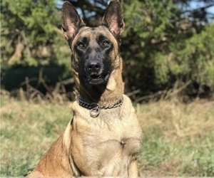 Mother of the Belgian Malinois puppies born on 08/13/2020