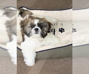 Shih Tzu Puppy for Sale in CHICAGO, Illinois USA