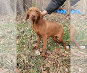 Vizsla Puppy for sale in LIBERTY, KY, USA