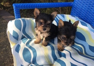 Yorkshire Terrier Puppy for sale in DENHAM SPRINGS, LA, USA
