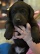Labrador Retriever Puppy For Sale in JARRELL, TX, USA