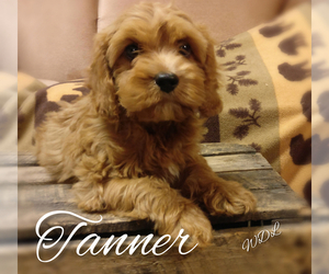 Cavapoo Puppy for sale in LEBANON, PA, USA