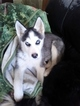 Siberian Husky Puppy For Sale in MAXWELL, NM