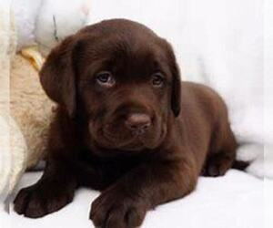 Labrador Retriever Puppy for sale in WAUSAU, WI, USA
