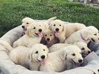 CKC REG Golden Retriever Puppies