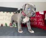 Small #12 American Pit Bull Terrier