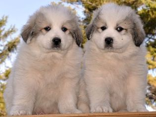 Great Pyrenees Puppy for sale in TURTLE LAKE, ND, USA