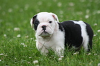 Olde English Bulldogge Puppy For Sale in CADOTT, WI,