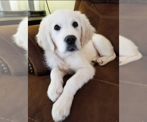 English Cream Golden Retriever Puppy for sale in QUAKERTOWN, PA, USA