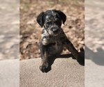 Puppy 3 Aussiedoodle-Labradoodle Mix