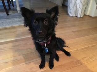 Papillon Dog For Adoption in EDGEWATER, MD, USA